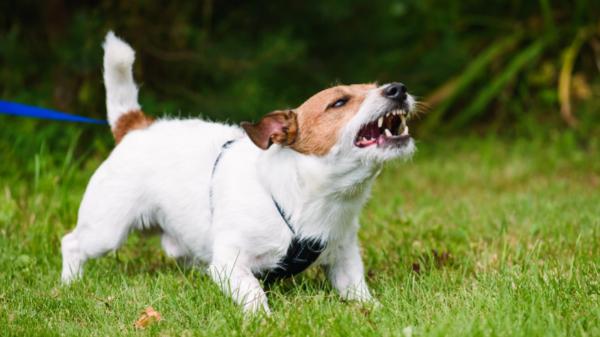 lead reactive dog