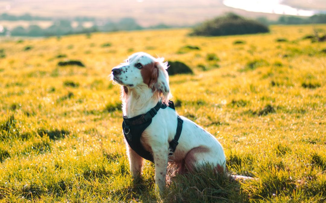 What Puppy Harness Should You Buy?
