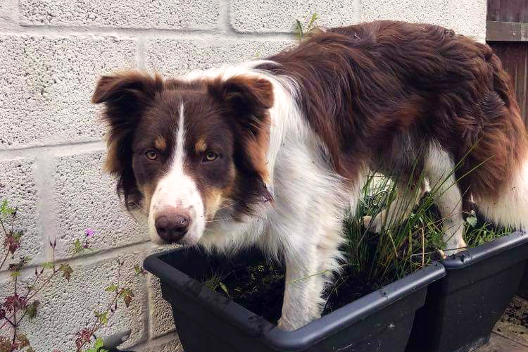 red the border collie
